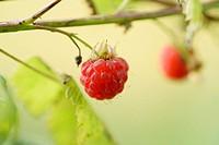 Close-up of a European raspberry (Rubus idaeus) fruit in early summer.