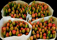 Young Tulips in Amsterdam.