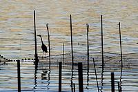 Heron silhouette (Ardea cinerea) in Albufera nature place, Valencia, Spain.