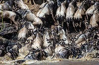 Wildebeests crossing Mara River and ascending its bank.