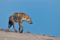 Spotted Hyena (Crocuta crocuta), walking along a waterhole, Etosha National Park, Namibia, Africa.