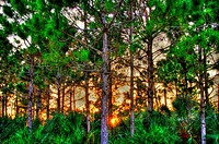Sunset in a rocky pineland´s protected forest, Redland, Florida