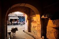 Cow wandering a back alley of Bundi.