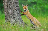 Young Red Fox, Vulpes vulpes, Hesse, Germany, Europe.