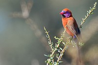 Violet-eared Waxbill (Uraeginthus granatina), male, perched on a twig, Kgalagadi Transfrontier Park, Northern Cape, South Africa, Africa.