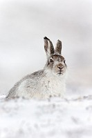 Mountain Hare (Lepus timidus) adult in winter coat sitting in snow.
