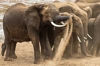 Elephants enjoying a dust bath.