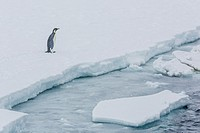 Adult emperor penguin, Aptenodytes forsteri, on sea ice in Crystal Sound, below the Antarctic Circle, Antarctica, Southern Ocean.