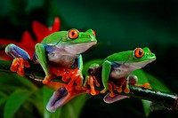 Agalychnis callidryas. red eyed tree frogs. Costa Rica.