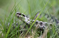 Adder (Vipera berus), male, creeping through grass, Bavaria, Germany