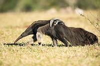 Giant anteater (Myrmecophaga tridactyla), female with cub on its back, walking in farmland, Mato Grosso do Sul, Brazil.