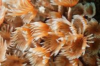 Tube worms in the Caribbean sea around Bonaire. Kokerwormen.