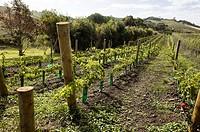 Vineyard in New Zealand.