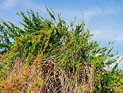 Brush plants against a blue sky