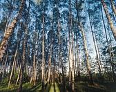 Birch grove. Podlasie region. Poland