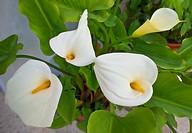 Arum Lilies in Frigilina,.