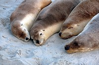 Australian Sea Lions (Neophoca cinerea). Seal Bay Conservation Park, Kangaroo Island, South Australia.