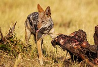 Black-backed Jackal (Canis mesomelas) - At the carcass of a Cape Buffalo (Syncerus caffer caffer) which was killed by lions. Savuti, Chobe National Pa...