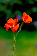 Poppy Blossoms.