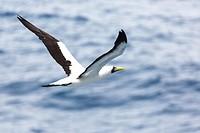 Masked booby (Sula dactylatra).