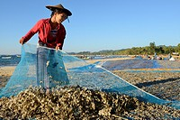 Myanmar, Rakhine State, Ngapali beach, Gyeik Taw village, Woman putting fresh fish to dry.