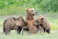 Grizzly Bear ( Urus arctos horribilis) lactating at their mother, Katmai national park, Alaska, USA.