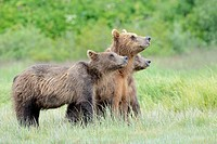 Grizzly Bear ( Urus arctos horribilis) together with their mother, sniffing in the air, Katmai national park, Alaska, USA.
