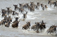 Blue Wildebeest (Connochaetes taurinus) herd during crossing the Mara river, Serengeti national park, Tanzania.