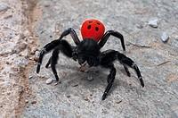 Eresus moravicus, Webspinne aus der Familie der Röhrenspinnen.