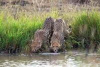 Two cheetah drinking. Maasai Mara National Reserve, Kenya