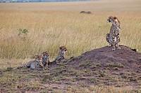 Three young cheetah and mother. Maasai Mara National Reserve, Kenya