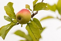 An apple on the branch tree after rain.