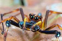 Jumping spider. Image taken at Kampung Skudup, Sarawak, Malaysia.
