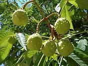 Horse-chestnut (Aesculus hippocastanum). Catalonia, Spain.