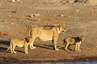 Lion (Panthera leo) - Female with two cubs at a waterhole. Etosha National Park, Namibia.