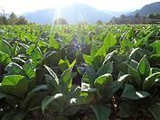 Tobacco plant, (Nicotiana tabacum) Andorra.