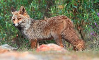 Red Fox (Vulpes vulpes). Monfrague National Park, Extremadura, Spain.