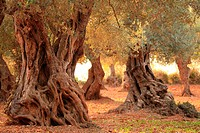 Hundreds-years-old Olive Trees. Mallorca, Balearic Islands, Spain.