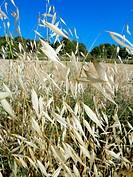 Common Oat (Avena sativa) on June, Bages, Catalonia, Spain
