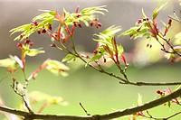 acer palmatum ´shinobuga oka´ in Spring, hope and vitality.