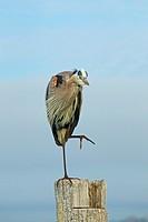 Great Blue Heron Ardea herodiasperched on post preening Fort Myers beach Gulf Coast Florida USA.