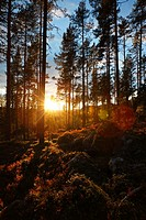 Morning light illuminating a pine forest in Sweden.