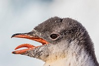 Gentoo penguin chick, Pygoscelis papua, panting to cool off from direct sunshine in Neko Harbor, Antarctica.