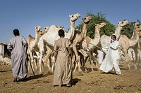 Camel herders leading their animals from place to place during a camel fair.