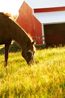 A horse eating in a field near Rockford, Washington, USA.