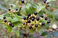 Hypericum androsaemum, Tutsan plant with berries, Wales, UK.