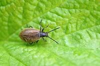 Lagria hirta beetle, Wales, UK.