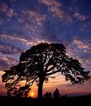 Old pine tree in Mielnik village. Podlasie region. Poland