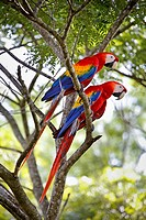 "Pair macao macaw (Ara Macao) called """"Lapas Rojas"""" in Costa Rica, in the wild in a tree near the river Tárcoles. Rio Tarcoles, Costa Rica, Central Am..."