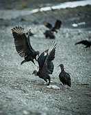 """""""""""Black Vulture"""" (Coragyps atratus), Thereby, a dead body can literally disappear within few days (this process happens a lot faster in the tropic..."
